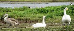 Mute, Bewick's & Whooper Swan