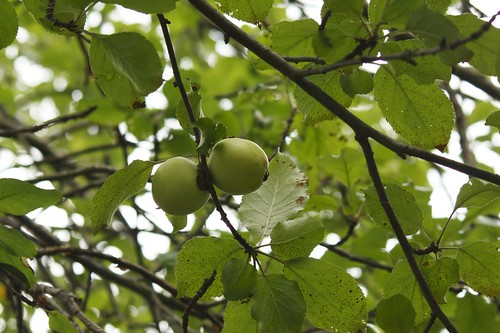 Wild Granny Smith apples in the orchard