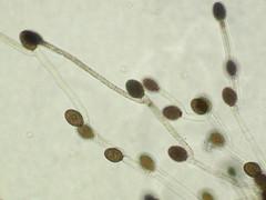 Allomyces macrogynus (xerantheum) Tags: fungi chytrid chytridiomycota blastocladiomycota allomyces macrogynus