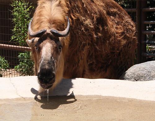 San Diego Zoo - Sichuan Takin