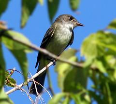 Alder Flycatcher (Nicki817) Tags: wisconsin spring hiking birding aves milwaukee ornithology soe naturesfinest alderflycatcher shieldofexcellence avianexcellence