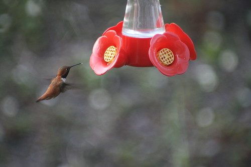 Rufous Hummingbird by The Bacher Family