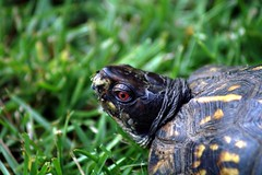Eastern Box Turtle - by drivebybiscuits1