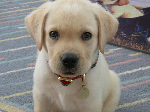 yellow lab - Duncan