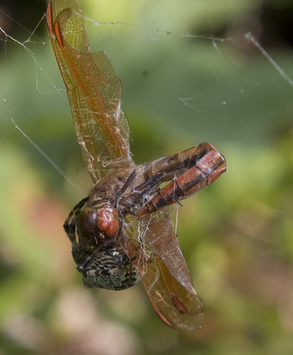 Spider with Golden-winged Skimmer