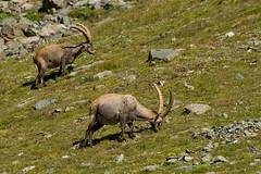 Adelr_20070727_714-Edit (reneadelerhof) Tags: italy aosta ibex granparadiso
