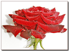 'Rainy' rose (Lyubov) Tags: red roses nature beautiful rose wow garden ilovenature gorgeous rainy naturesfinest lovelyflowers supershot thebiggestgroup mywinners platinumphoto colorphotoaward theunforgettablepictures betterthangood