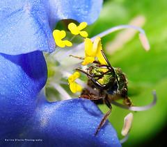 Abeja Metlica Verde - Green Metallic Bee (Karina Diarte de Maidana) Tags: bug insect bee paraguay abeja soe naturesfinest commelina metallicgreenbee commelinaerecta augochlora augochloropsis halictidaebee karinadiarte
