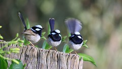A flutter of fairy Wrens (n3ttl3s) Tags: bravo friday feathery fairywren naturesfinest featheryfriday anawesomeshot auselite
