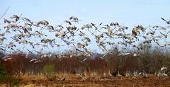 Flight Of A Thousand - La Chua Trail Paynes Prairie (gatorgalpics) Tags: flight explore viewlarge sandhillcranes lachuatrail 238 thousands paynesprairie grandflight paynesprairiepreserve populargatheringspot winterintheprairie grandchorus