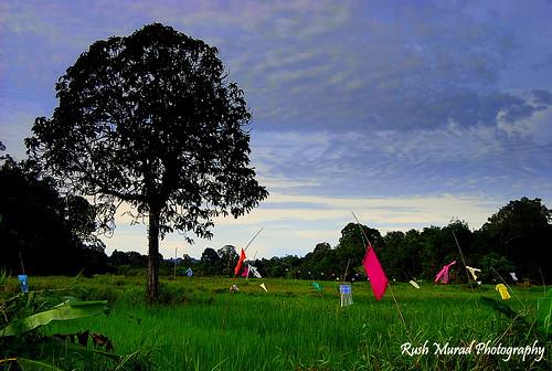 Paddy Field, Bungai, Miri. Malaysia