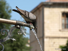 Set / Sed / Thirst (Jordi Bri) Tags: urban france fountain animal animals set landscape dove drinking fuente frana paloma paisaje olympus font urbano provence francia thirst sed urba provenza paisatge bebiendo colom alpesdehauteprovence e510 forcalquier provencealpescotedazur provena bevent jordibrio