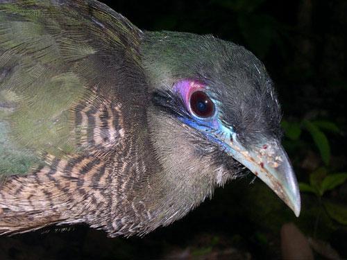 Sumatras zemes dzeguze (Carpococcyx viridis) 4