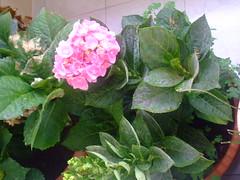 Hortensias (Irene Sarranheira) Tags: flores verde vintage natureza rosas hortensias passoapasso