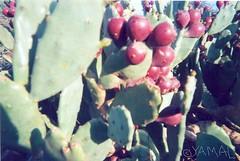 Cactus تهنديت