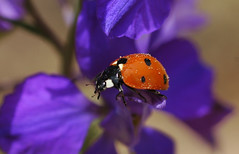Ladybird (David Lev) Tags: red plants flower purple beetle insects mygarden delphinium blck naturesfinest nirim coccinella7punctata flickrsbest twtme mywinner anawesomeshot impressedbeauty aplusphoto 1on1allbugs superbmasterpiece beyondexcellence diamondclassphotographer flickrdiamond the7spotladybird