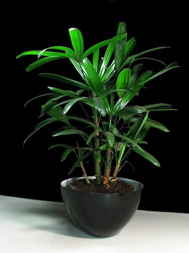 A Classic Palm