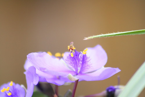 honey bee on spiderwort 03