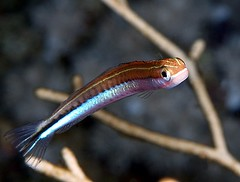 Tiny fangblenny (vanveelen) Tags: fish macro nature underwater redsea egypt diving e300 blenny rasmohamed