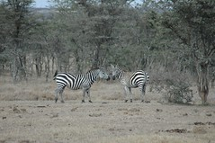 030 - El Karama - Burchell's Zebras (FO Travel) Tags: kenya nairobi nakuru karama lewa baringo naivasha turkana gabra chalbi suguta nariokotome kalacha loyangalani logipi