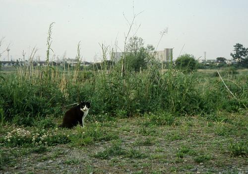 多摩川の猫