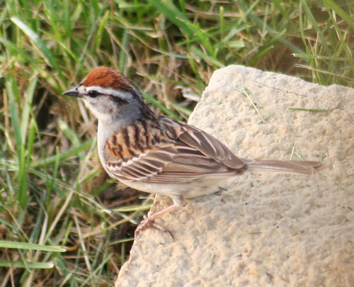 chipping sparrow 02