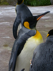 pppppppick-up-a-penguin (The Mucker) Tags: zoo penguin edinburgh