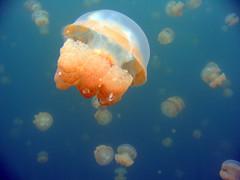 Lotsa jellies (Arne Kuilman) Tags: macro closeup jellyfish underwater single snorkelling medusa smack palau jellyfishlake meromictic nonstinging ongeimltketau mastigias mastigiascfpapuaetpisoni
