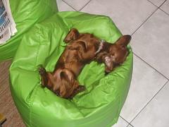 Olvia (*ValePumares*) Tags: olivia dachshund perros salchicha