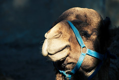 The Amazing Smiling Camel - by _Teb