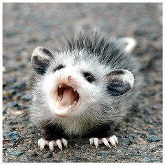 free downloading pics of baby opossum wiki