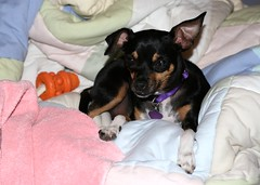 dog chihuahua black silly cute digital canon mississippi puppy rebel mutt mix pastel flash adorable ears couch spots oxford blanket squint daisy bone paws collar pooch minpin nylabone squinter xti pointyfaceddogs