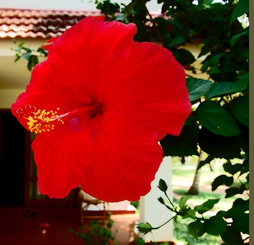 A Red Hibiscus of Kerala