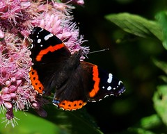 Red Admiral 2 (vtpeacenik) Tags: red white black butterfly vermont september coolestphotographers