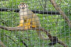 Common Squirrel Monkey (canadianlookin) Tags: nature animals monkey winnipeg wildlife spidermonkey assiniboinezoo keepexploring