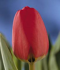 tulipan (barrueto_carolina) Tags: tupian rojito