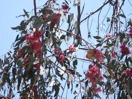 Eucalyptus tree with red blooms