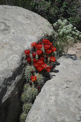Claret Cactus in the crack