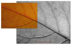 omalanthus populifolius... (YAZMDG (16,000 images)) Tags: trees plants de rainbow gaye omalanthus populifolius nswrfp northernriversspecies regionforesttreesleaveshinterlandyazyazmdgyazminamichele