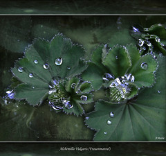 Pearls of  magic plant (Mara ~earth light~) Tags: plant texture photoshop magic pearls creativecommons brandenburg medicinalplant frauenmantel conventgarden alchemie ziesar alchemillavulgaris memoriesbook awardtree redmatrix mara~earthlight~ untouchabledream himmelstau