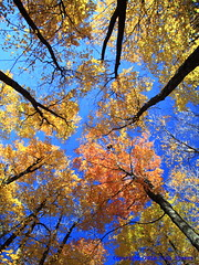 I Love to Look Up in the Autumn (Lisa-S) Tags: blue autumn trees sky orange ontario canada fall yellow lisas foliage trunks brampton heartlake conservationarea 50d 3596 trca colorphotoaward copyright2010lisastokes gappool torontoregionalconservationauthority