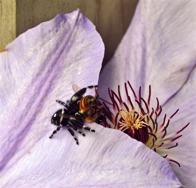 Phidippus audax, Daring Jumping Spider (3)