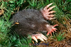 star-nosed-mole-3 (gordonramsaysubmissions) Tags: star mole nosed starnosedmole