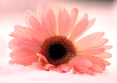 Gerbera (regina_austria) Tags: pink plant flower nature pflanze rosa gerbera flickrcentral 1001nights blume breathtaking naturesbest ih colorphoto excellence naturesfinest allyouneedislove flowerotica flickrnature flowermacroism masterphotos abigfave 30faves30comments300views colorphotoaward impressedbeauty ultimateshot irresitiblebeauty flickrdiamond photosandcalendar amateurshighfive freenature exemplaryshots onlythebestare ultimategold proaccountmembers reginaaustria platinumheartaward fiveflickrfavs wonderfulworldmix allnicethink flicksblooms dazzlingshots