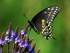Black Swallowtail (nature55) Tags: nature wisconsin butterfly insect outdoors bravo searchthebest lepidoptera blackswallowtail naturesfinest supershot magicdonkey specnature specanimal nature55 abigfave anawesomeshot colorphotoaward flickrelite horiconmarch 421explorepages