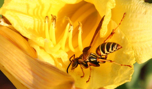 polistes paper wasp day lily 04