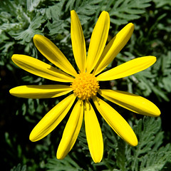 BT524 Yellow Daisy (listentoreason) Tags: plant flower color nature yellow closeup canon unitedstates pennsylvania favorites places daisy longwoodgardens dicot asterales ef28135mmf3556isusm score40