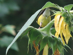 A goldfinches what-not