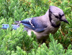 FBI: Blue Jay In the bushes in deep thought ---CONCENTRATION! (Frozen in Time photos by Marianne AWAY OFF/ON) Tags: blue birds wildlife bluejays fbi allgodscreatures cyanocittacristata ilovephotography gardenbirds featheredfriends flickraddicts fieldguidebirdsoftheworld backyardbirds birdlovers featheryfriday happyfeatheryfriday ilovebirds birdsbirdsbirds birdfanatics awesomenature flickrnature bestofthebirds birdpix nationalgeographicwannabes newjerseybirds birdsofamerica impressedbeauty impressedbyyourbeauty pdpnw bushbirds elpasojoesplace jerseybirders wingsoftheworld favoritesbyinterestingness birdfanaticsnolimits natureunlimited secretlifeofbirds birdsofeasternusa birdandnaturephotography beautousbirds nationalgeographiswannabes