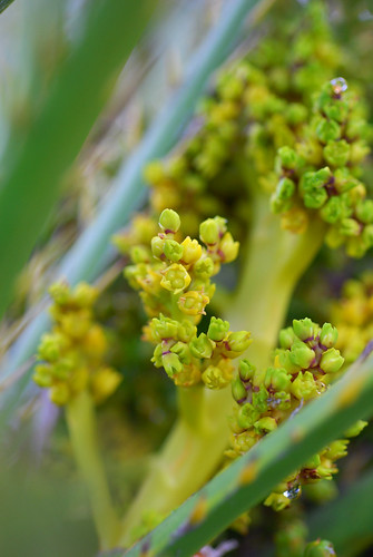 Dwarf palm female inflorescence